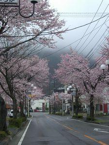 桜通り8分咲きです(^^)v