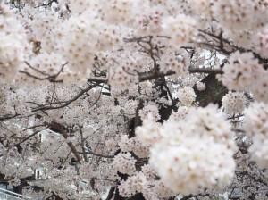 桜✿満開です(#^.^#)!!