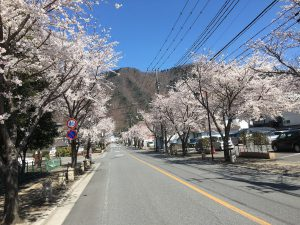 鬼怒川の桜、満開です(^_-)-☆